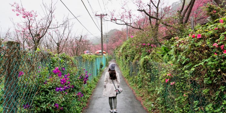 Cherry Blossom Trees in Yangmingshan National Park